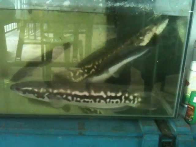 Змееголов атакует сома