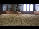 Уэльский пони. Сваровски 2016г