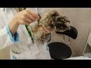 Совёнок ушастой совы Чуфырька на приёме у ветеринара.
