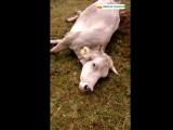 Atac de voltors a una vaca que acabava de parir.mp4