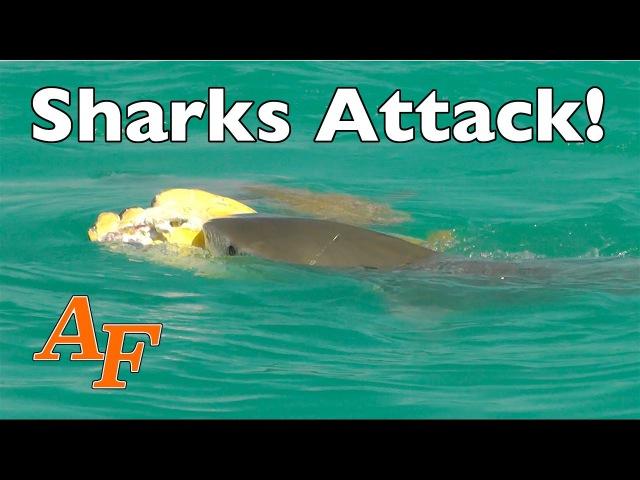 Две мадагаскарские острозубые акулы и тигровая акула пытаются съесть мертвую морскую черепаху