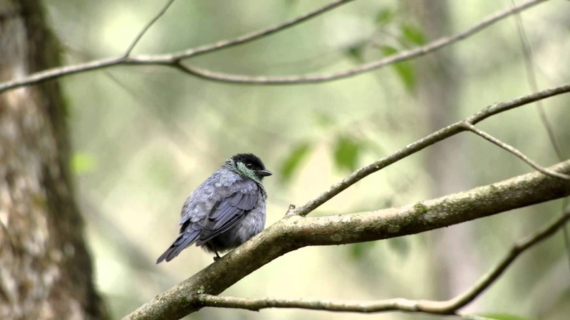 Black-capped tanager Черноголовая танагра Tangara heinei