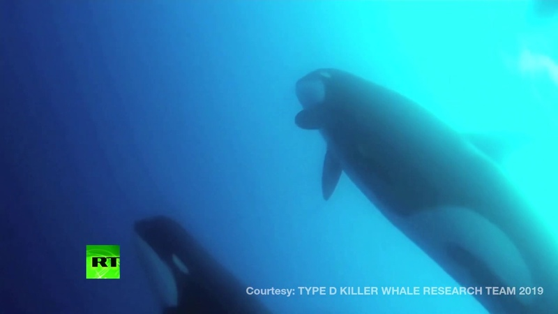 Discovery Scientists find new type of killer whale off Chile