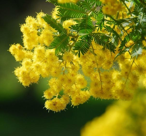 Цветок мимоза картинки
