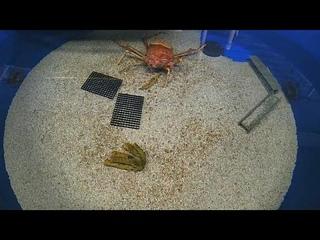 Как линяет гигантский краб. В океанариуме Сан-Диего шесть часов наблюдали за японским крабом-пауком