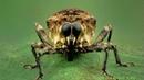 Big-eyed Weevil from Ecuador