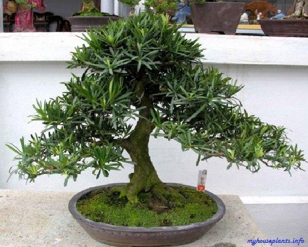 НОГОПЛОДНИК Ногоплодник - это миниатюрное ветвистое деревце с искривленным стволом, наделенное плотными кожистыми листьями, схожими на иголки и достигающими длины в 10 см. Листья ногоплодника