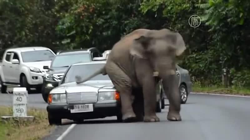 Дикий слон в Таиланде уселся на капот авто