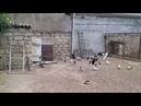 Бакинские и Николаевские голуби у Бабы в Баку.