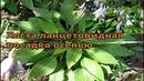 Хоста ланцетовидная Размножение хосты делением куста Посадка осенью