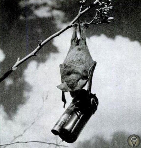 Во время Второй мировой войны американский изобретатель предложил использовать летучих мышей в качестве живых бомб