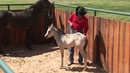 Foal Training: Desensitizing Through Touch and Rub