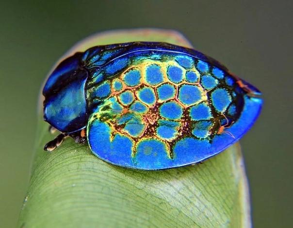 Жук Золотая Черепаха (Charidotella sexpunctata)