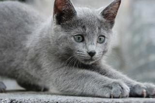 russian blue cat - HD1200×804
