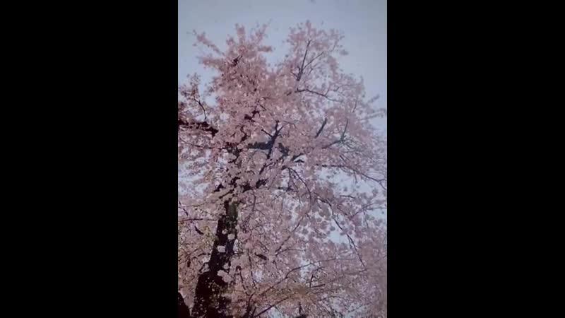 なかなか見ることができない満開の桜と大粒な雪をスローでご堪能ください 雪が花びらみたいで素敵じゃないですか
