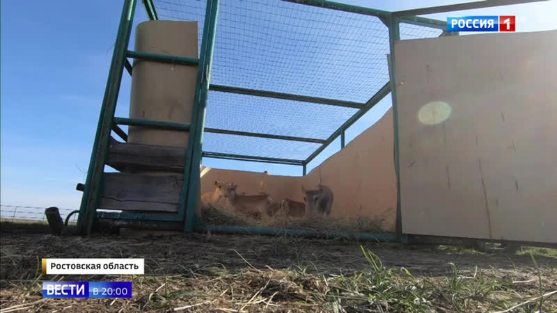 Браконьеры не побеспокоят: спасенных сайгаков выпустили в дикую природу в Ростовской области