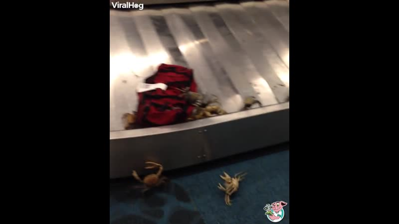 Tonnes of Crabs Invade Bahamian Airport