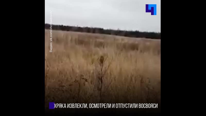 В Гатчинском районе охотники спасли невнимательного кабанчика