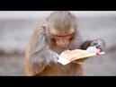 В Индии обезьяны похитили образцы крови носителей COVID-19 и съели