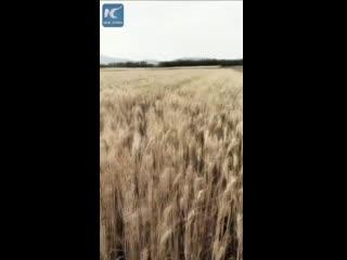 Вот как собирают урожай пшеницы в Китае!
