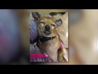Mann will pitbull adoptieren der hund weigert sich...