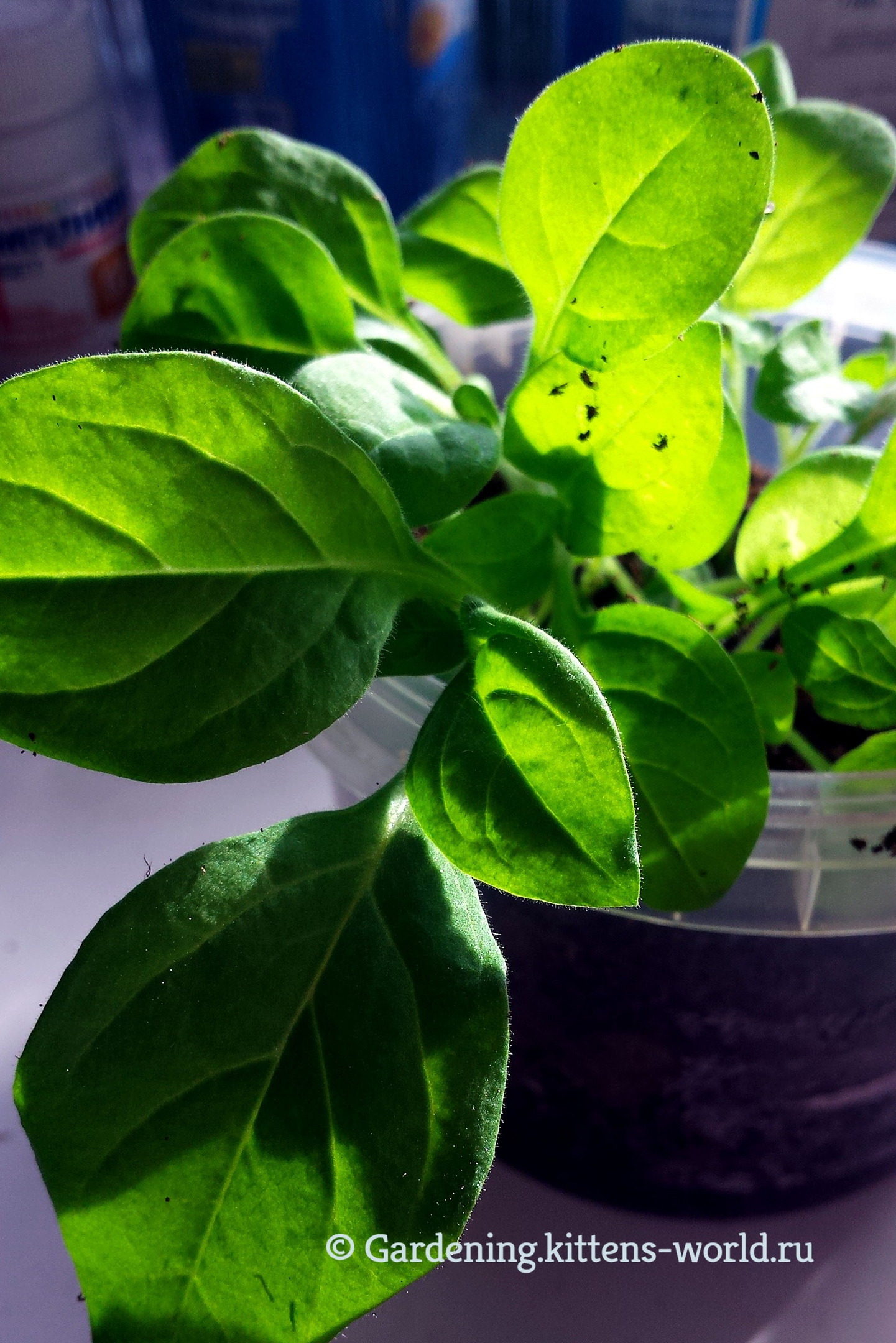 О выращивании петунии от «А» до «Я» в одной статье