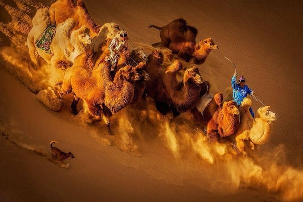 Верблюды в монгольской пустыне