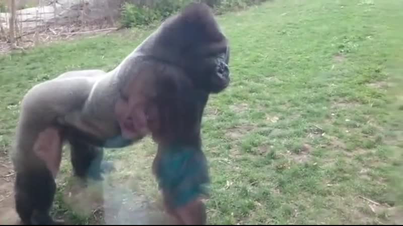 This is why you don't pound on your chest in front of a silverback