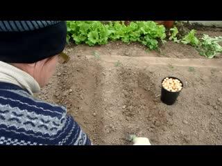 Супер способ посадки лука-севка с укропом под зиму с защитой от мышей, проволочн