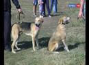 Золотой экстерьер ко Дню города в Ельце прошла выставка родословных охотничьих собак