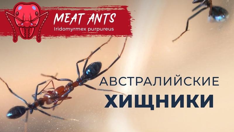 АВСТРАЛИЙСКИЕ ХИЩНИКИ | Meat ants | Iridomyrmex purpureus