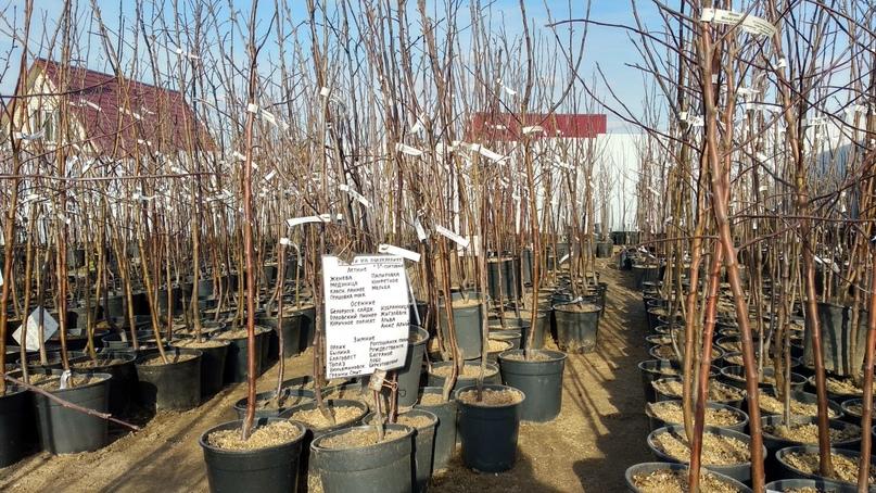 Кейс продажа саженцев и плодовых деревьев., изображение №3
