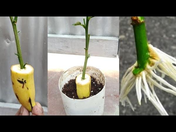 Banana natural rooting hormone....