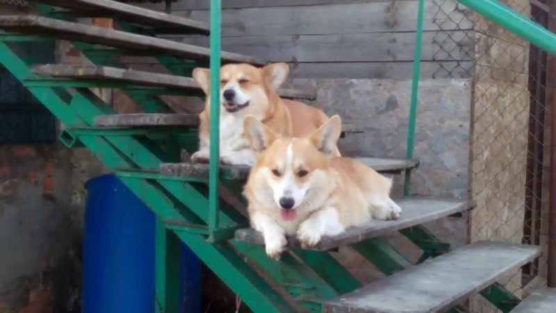 Игры собак Вельш корги пемброк