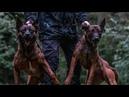 Единственная собака, с которой питбули не справляются MALINOIS K9 Бельгийский волк