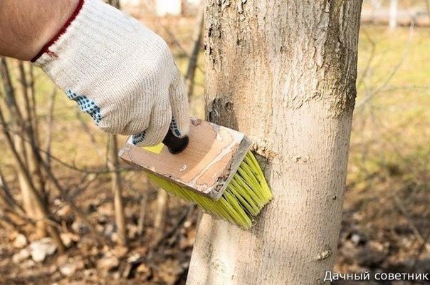 Осенние сроки побелки садовых деревьев