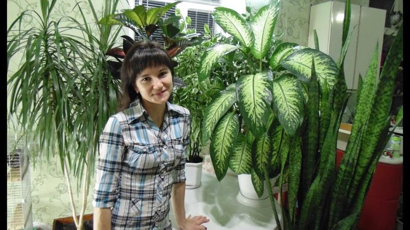 Обзор больших комнатных растений Диффенбахия Кротон Фикус Драцена Педилантус Сансевиерия