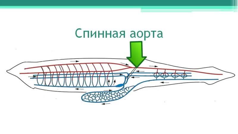 Ланцетник Тип Хордовые Часть 2 Онлайн подготовка к ЕГЭ по Биологии