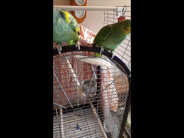 Амазоны попугаи Содержание попугаев амазонов в нашем доме