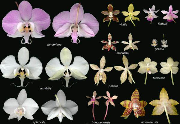 Цветовая гамма очень разнообразна, в природе встречаются: Синие, Розовые, Белые, Фиолетовые, Красные.
