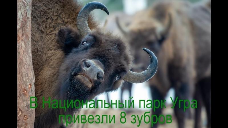 В Национальный парк Угра 9 августа привезли 8 зубров