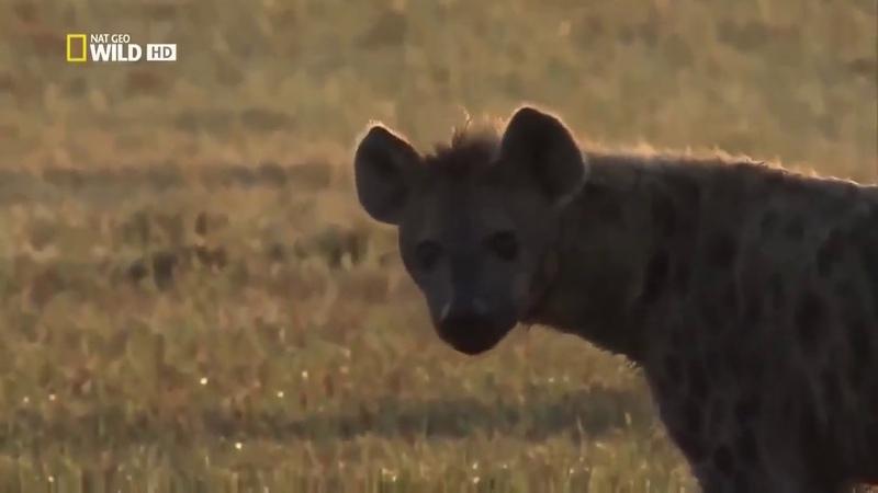 Гиена царица саванн Африки Пятнистые гиены против львов NAT GEO WILD Док фильм BBC