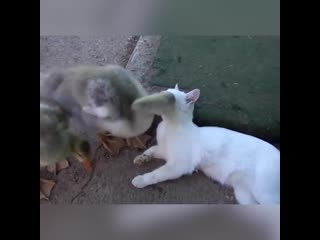 Утка и кот играют вместе