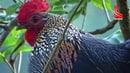 Suara pikat ayam hutan betina Grey junglefowl Gallus sonneratii