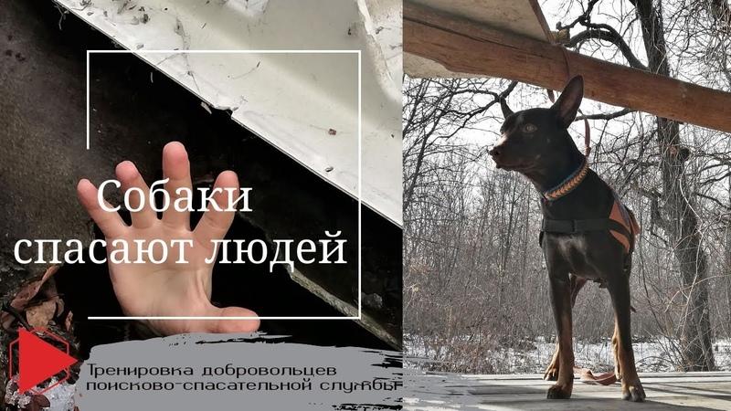 Собаки спасают людей Тренировка добровольцев поисково спасательной службы
