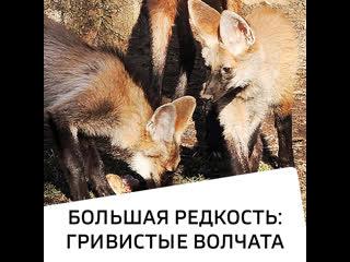 Большая редкость: гривистые волчата