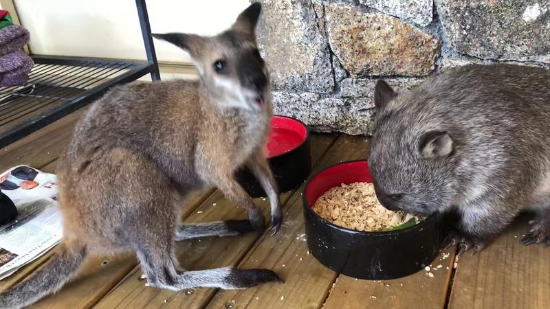 Wombat Wallaby BFF