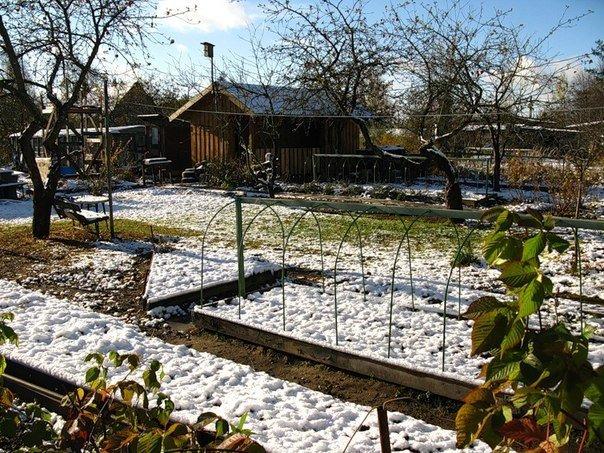 Будем зимовать на грядке Корнеплоды зимующие на грядке не лишаются всех своих полезных веществ, которые в них содержатся. Кроме того, растения способные перенести зиму, неприхотливы в