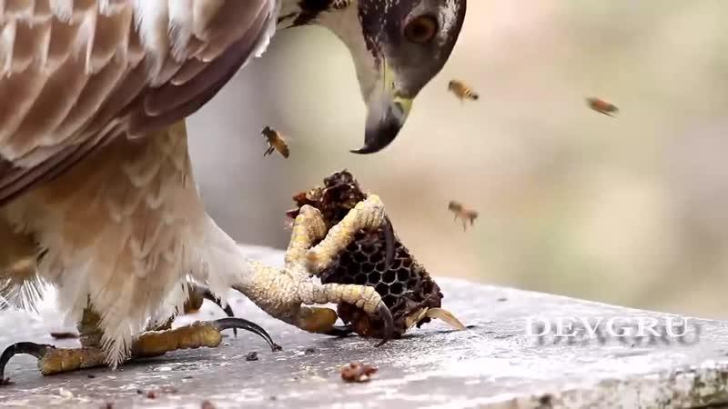 The Oriental Honey Buzzard