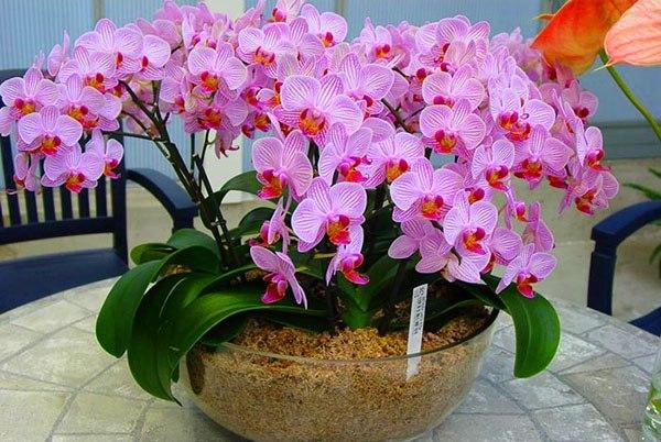 Чеснок стимулирует пышное цветение орхидей
